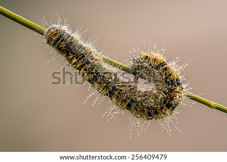 worm on a branch with dewdrops - stock photo