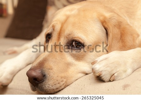Worried Labrador on the sofa - enhanced colors   - stock photo