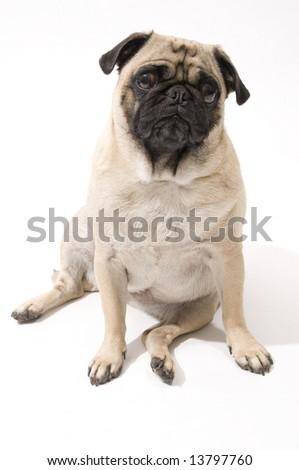 Worried Pug - stock photo