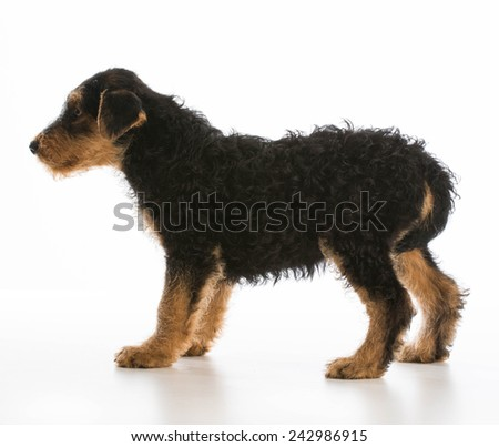 worried puppy - airedale puppy standing with tail between legs on white background - stock photo