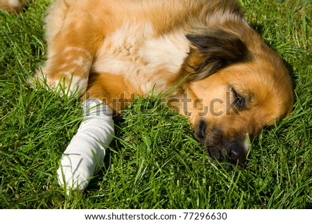 Wounded dog - stock photo