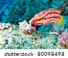 Wrasse Eating Barnicles - stock photo