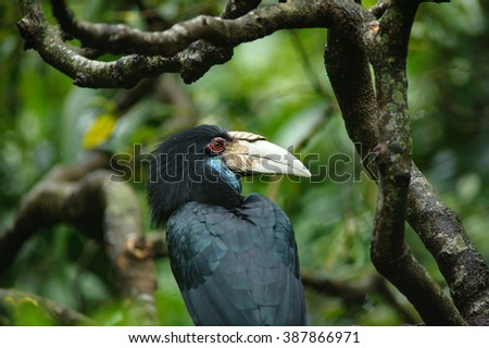 Wreathed hornbill in rainforest - stock photo