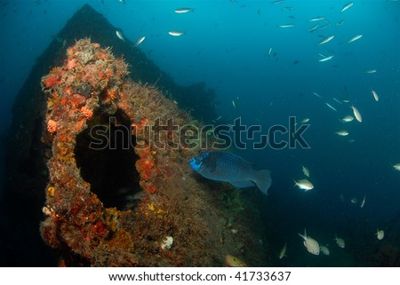 wreck diving with parrotfish - stock photo