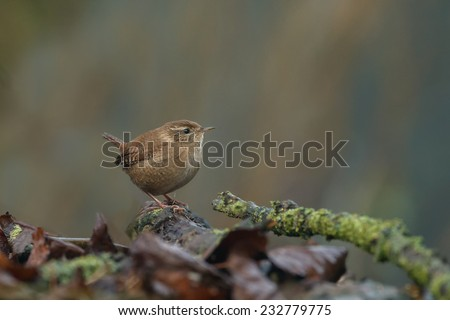 Wren in a autumn setting - stock photo