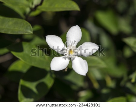 "Wrightia Antidysenterica is a flowering plant in the genus Wrightia. It is also known as ""White Angel"" in the Philippines"