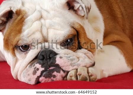 wrinkle dog - adorable english bulldog laying on red blanket - stock photo