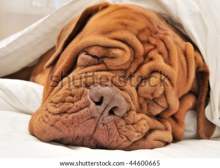 Wrinkled Dog Dogue De Bordeaux Dreaming in Bed with White Blanket - stock photo