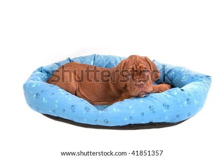 Wrinkled Dogue De Bordeaux puppy in a cot/ bed, isolated - stock photo