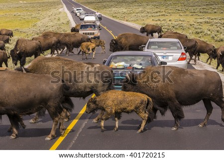 WYOMING, USA - AUGUST 2, 2004: Bison herd crosses the road and stops traffic in Yellowstone National Park. - stock photo