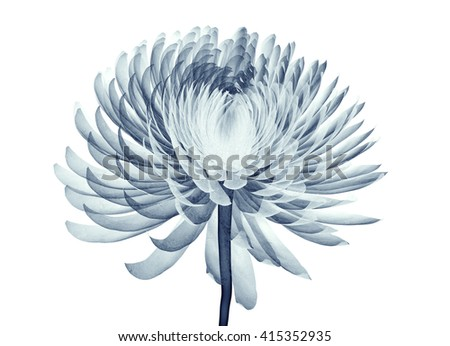 x-ray image of a flower  isolated on white , the Pompon Chrysanthemum 3d illustration