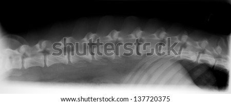 X-ray of dog spine - stock photo