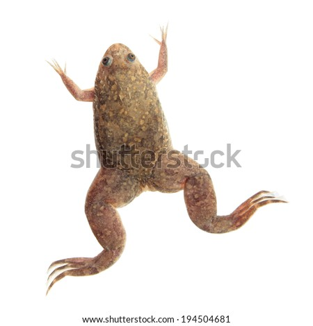 xenopus laevis african clawed frog isolated stock photo edit now rh shutterstock com African Dwarf Frog Habitat African Clawed Frog Tank