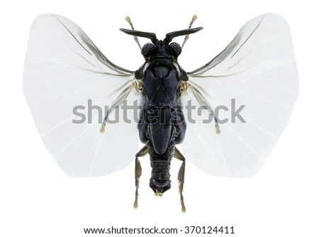 Xenos  vesparum, an insects parasite of wasps - stock photo