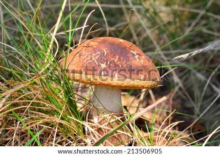 xerocomus ferrugineus mushroom  - stock photo