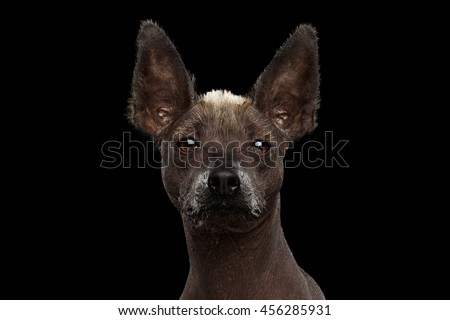 Xoloitzcuintle - hairless mexican dog breed, Studio Close-up portrait on Isolated Black background, Front view - stock photo