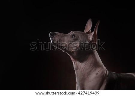Xoloitzcuintle - hairless mexican dog breed, Studio portrait on a dark background - stock photo