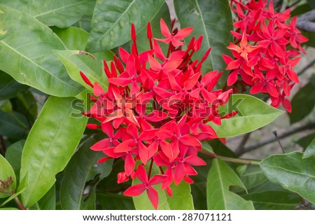xoras, lovely small tiny red flowers in groups with natural envi - stock photo
