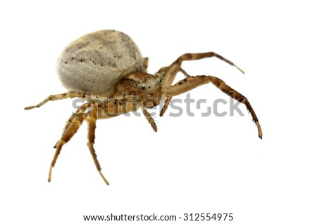 Xysticus sp. crab spider isolated on white. - stock photo