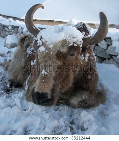 Yak after a snowfall in Himalayas, Nepal - stock photo