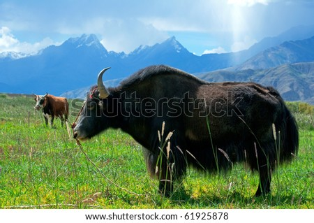 Yak and cow - stock photo