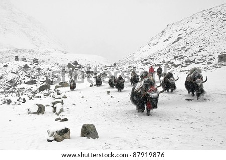 Yak caravan on the trek to Mt. Everest - Nepal, Himalayas - stock photo