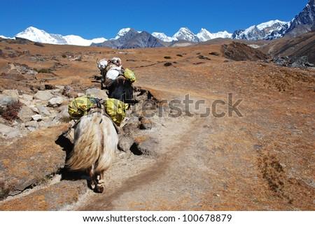 Yak carrying goods, Khumbu region, Nepal - stock photo