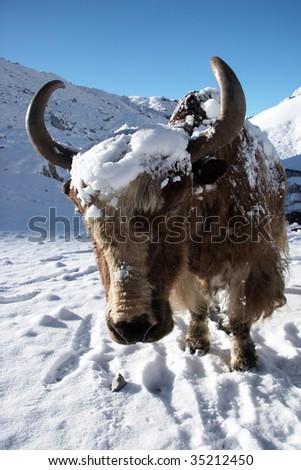 Yak close-up, Himalaya, Nepal - stock photo