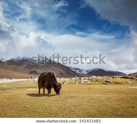 Yak grazing in Himalayas mountains. Ladakh, India