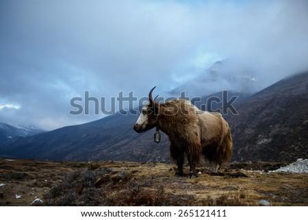 Yak in Himalayan mountains - stock photo