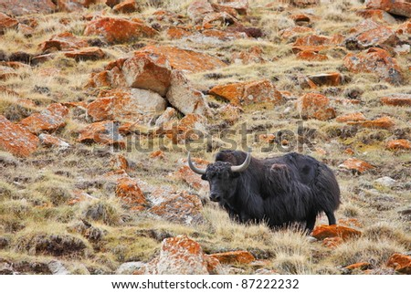 Yak in the Himalayas - stock photo