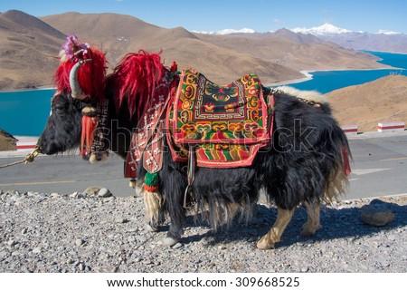 Yak - Native Animal of Tibet China - stock photo