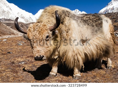 Yak on the way to Everest base camp - Nepal