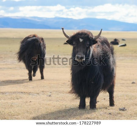 Yak pastures of Mongolia. High in the mountains - stock photo