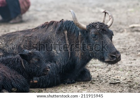 Yak's family in a high-altitude nomad camp in a mountain valley near Lo Manthang, Nepal. - stock photo