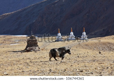 Yak with Buddhist stupas background, Tibet