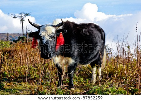 Yak with Red Earrings in the Meadow, Nepal - stock photo
