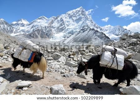 Yaks Approaching Everest Base Camp - stock photo