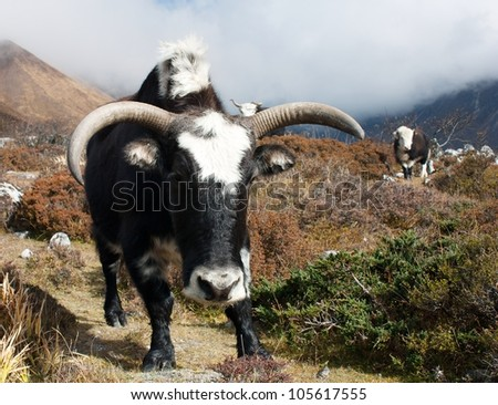 Yaks - bos grunniens or bos mutus - in Langtang valley - Nepal - stock photo