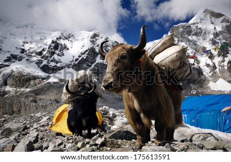 Yaks carrying supplies to Mt. Everest Base Camp, Himalayas, Nepal - stock photo