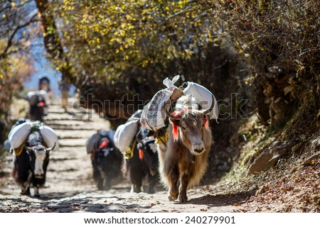 Yaks carrying weight in Nepal - stock photo