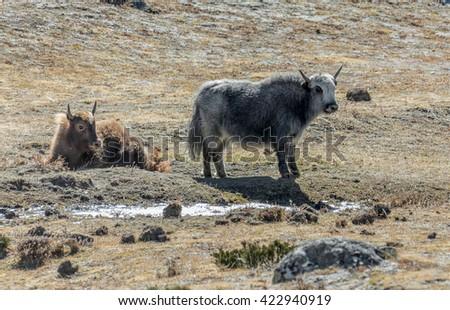 Yaks graze near Dingboche - Everest region, Nepal, Himalayas - stock photo