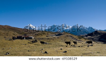 Yaks graze on alpine pastures in the background of high snowy mountains - stock photo