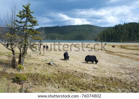 Yaks grazing on the land - stock photo