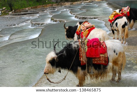 Yaks on the Namtso Lake in Tibet - stock photo