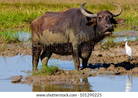 yala sri lanka bull - stock photo