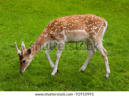 Yang Male deer and green grass