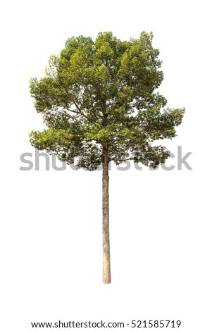 Yang trees,gurjan,  garjan  isolated on white background.