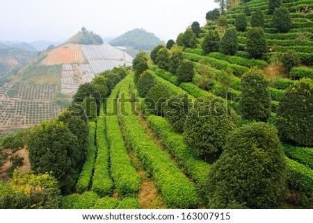 Yangshuo tea terrace. Yangshuo county. China. - stock photo