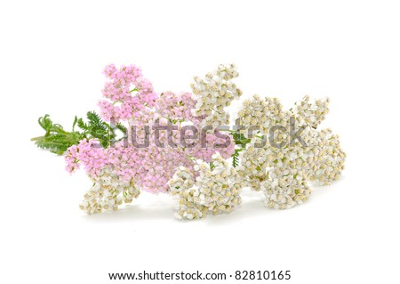 Yarrow (Achillea Millefolium) Flowers (Medicinal Plant) Isolated on White Background - stock photo